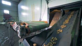 Kartoffelfabrik mit einem beweglichen Förderband stock footage