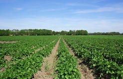 Kartoffelfeld Lizenzfreie Stockbilder