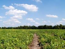 Kartoffelfeld. Stockbilder