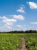 Kartoffelfeld. Lizenzfreies Stockbild
