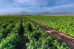 Kartoffelfeld Stockfotografie