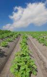 Kartoffelfeld Stockbild