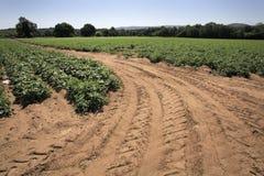 Kartoffelfeld lizenzfreies stockfoto