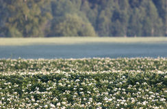 Kartoffelfeld mit Blumen lizenzfreie stockfotos