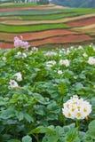 Kartoffelfelder mit bunten terassenförmig angelegten Feldern Lizenzfreie Stockfotos