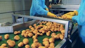Kartoffelknollen erhalten Schnitt manuell beim Bewegen entlang den Gurt stock video