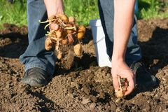 Kartoffellandwirt Lizenzfreie Stockfotos