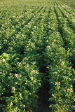 Kartoffeln archiviert Lizenzfreies Stockfoto