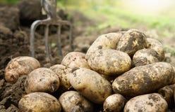 Kartoffeln auf dem Gebiet stockbilder