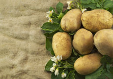 Kartoffeln auf Leinwandsack stockfotos