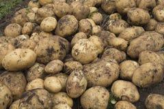 Kartoffeln aus den Grund Stockfotografie