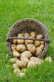 Kartoffeln am Bauernhof Lizenzfreie Stockfotos