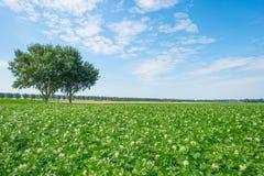 Kartoffeln, die auf einem Gebiet im Sommer wachsen Lizenzfreie Stockfotos