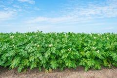 Kartoffeln, die auf einem Gebiet im Sommer wachsen Stockfoto