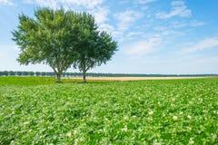 Kartoffeln, die auf einem Gebiet im Sommer wachsen Stockfotos