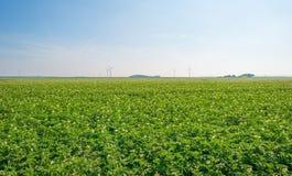 Kartoffeln, die auf einem Gebiet im Sommer wachsen Lizenzfreie Stockfotografie