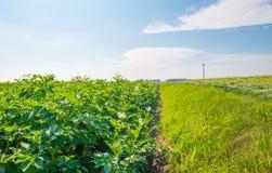 Kartoffeln, die auf einem Gebiet im Sommer wachsen Lizenzfreies Stockfoto