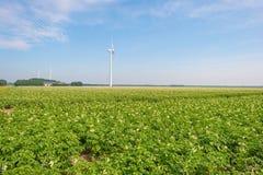 Kartoffeln, die auf einem Gebiet im Sommer wachsen Lizenzfreies Stockbild