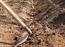 Kartoffeln, die gekeimt werden, werden im Boden ges?t stockfotografie