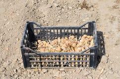 Kartoffeln für das Pflanzen Stockfotos