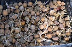Kartoffeln für das Pflanzen Stockbild