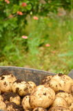 Kartoffeln frisch gegraben Lizenzfreie Stockfotografie