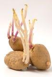 Kartoffeln keimten lange junge Sprösslinge Lizenzfreie Stockbilder
