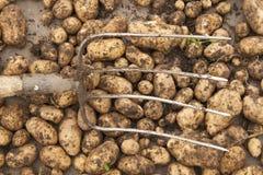 Kartoffeln und die Heugabeln Stockbild