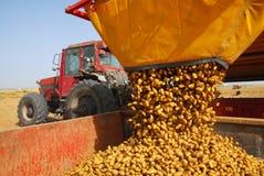 Kartoffeln und Traktor auf dem Kartoffelgebiet Stockfotografie