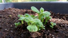 Kartoffelpflanze Lizenzfreie Stockfotos