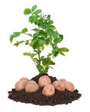 Kartoffelpflanzen Stockfoto