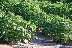 Kartoffelpflanzen Stockbild