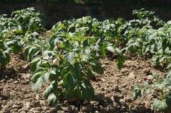 Kartoffelpflanzen stockfotos