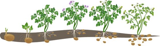 Kartoffelpflanzenwachstumszyklus Lizenzfreie Stockfotos