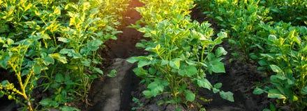 Kartoffelplantagen wachsen auf dem Gebiet Gemüsereihen Landwirtschaft, Landwirtschaft Landschaft mit Ackerland getreide fahne lizenzfreie stockfotografie