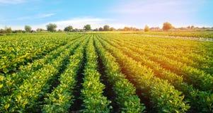 Kartoffelplantagen wachsen auf dem Gebiet Gem?sereihen Landwirtschaft, Landwirtschaft Landschaft mit Ackerland getreide lizenzfreies stockbild