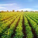Kartoffelplantagen wachsen auf dem Gebiet Gem?sereihen Landwirtschaft, Landwirtschaft Landschaft mit Ackerland getreide lizenzfreie stockbilder