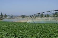 Kartoffelproduktion auf Bewässerung durch Gelenkmitte Lizenzfreie Stockbilder