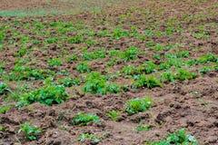 Kartoflana plantacja w polu Obraz Royalty Free