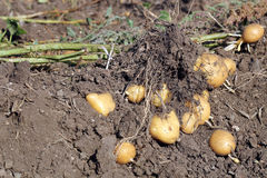 Kartoflana roślina Fotografia Royalty Free