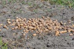 Kartoflana uprawa w ogródzie Obraz Stock