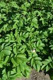 Kartoflane rośliny Obraz Stock