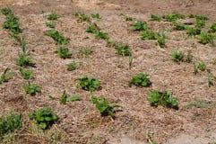 Kartoflane rośliny r w polu Fotografia Royalty Free
