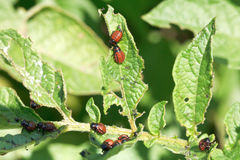 Kartoflanej pluskwy larwa w grula liściach Obraz Royalty Free