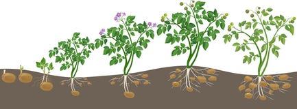 Kartoflanej rośliny wzrostowy cykl Zdjęcie Stock