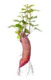 kartoflany cukierki Fotografia Stock