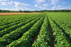 Kartoflany i Pszeniczny pole Fotografia Stock