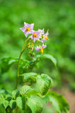 Kartoflany kwiat Zdjęcia Stock