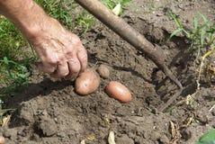 Kartoflany żniwo 01 Zdjęcia Stock