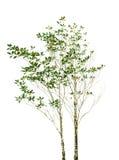 Kartoteka odizolowywająca drzewna roślina z zielonymi liśćmi rozgałęzia się na białych półdupkach Zdjęcia Stock